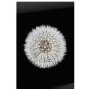The Dandelion Print Metal Print Medium One